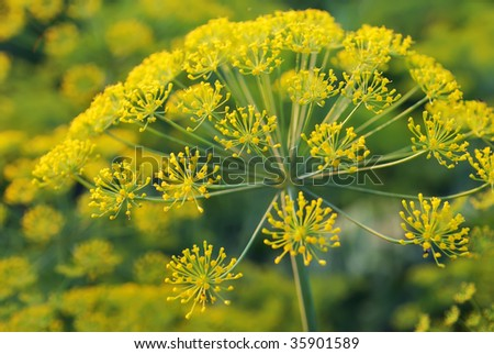Dill - umbelliferous aromatic plant with umbrella-shaped clusters of yellow flowers
