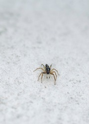 Dimorphic jumping spider, a species of Jumping spider