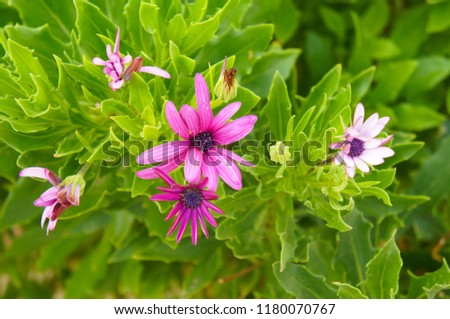 Dimorphotheca fruticosa or white daisy bush pink flowers with green background