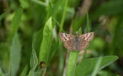 Dingy Skipper Butterfly in a Meadow in May