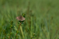 Dingy skipper butterfly in nature on a plant, tiny brown butterfly in natural environment. Small brown moth.