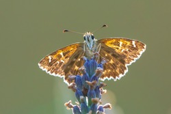 Dingy skipper Erynnis tages butterfly pollinating in purple blooming lavender flowers.