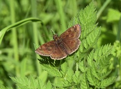 Dingy skipper (Erynnis tages) guarding its territory