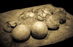 Dinosaur eggs in the nest - Hadrosaurus