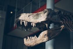 Dinosaur Fossil Tyrannosaurus Museum Academy Science Old Bones