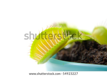 Dionaea, flytrap, in closeup over white background
