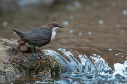 Dipper - Cinclus cinclus single bird on rock in the river - in their habitat