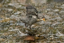 Dipper juvenile tweeting to be fed in a stream in Scotland in the springtime