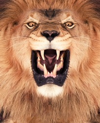 Direct frontal shot of a Lion roaring.