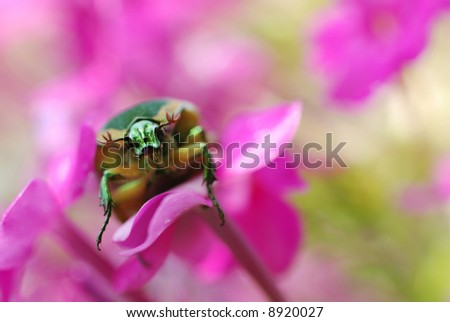 direct gaze of a green, metallic June beetle resting on small pink flowers.  Extreme macro with shallow dof