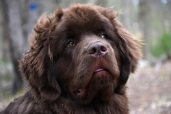Direct look into a sweet face of a brown Newfoundland dog.