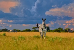 Direct view on Plains zebra stallion, Equus quagga, staring at camera  in lush savanna against dramatic storm clouds on horizon. African wildlife scene in vivid colors. Nxai Pan, Botswana, Africa.
