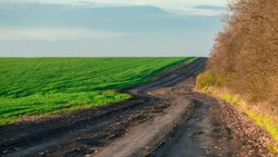 dirt road along a green field of growing wheat and trees winding trail on a winding hilly path on a sunny spring day, nobody.