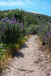 dirt road between lavender and rockrose in Extremadura