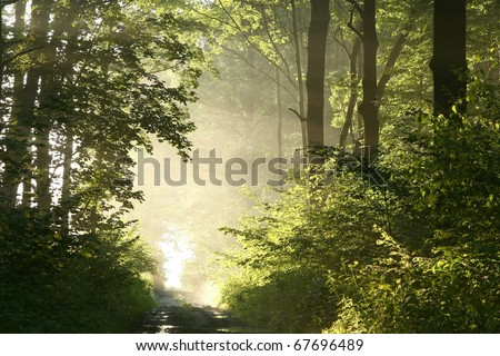 Dirt road crosses a lush deciduous forest  on a foggy spring morning.