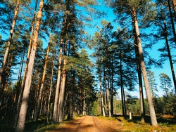 Dirt road in the green forest in Sweden. Country road surrounded by tall pine trees during bright sunny day.