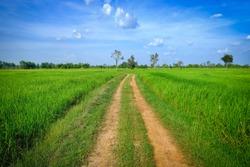 dirt road passing through green rice field.