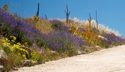 Dirt road side with blue lavenders, orange flowers, dry grasses and azur blue sky