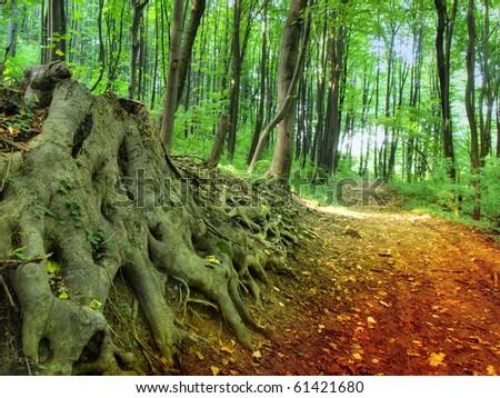 Dirt Road through Beech Forest