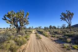 Dirt road through Joshua trees, Mohave National Preserve, CA.