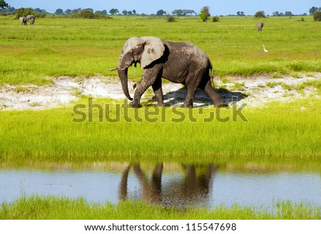 Dirty african elephant in wild grass savanna(National park Chobe, Botswana,South Africa)