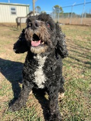 Dirty black colored cockapoo mixed breed dog outside taking break chilling in the grass on a sunny afternoon in a fenced area of a canine enrichment center dog park training facility