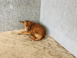 Dirty brown street dog ,Unhealthy homeless stray dog (ownerless free-ranging urban dogs) is lying on floor in front of building in Thailand ,that had loneliness face ,fear and nervous feeling