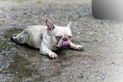 Dirty dog (French Bulldog) enjoy playing on the muddy