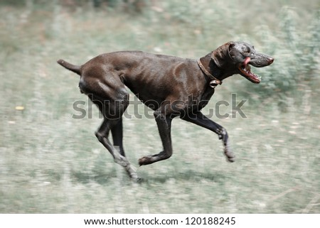Dirty dog running outdoors. Color photo