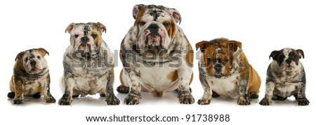 dirty dogs - five muddy english bulldogs