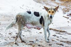 Dirty female dog on wet concrete floor