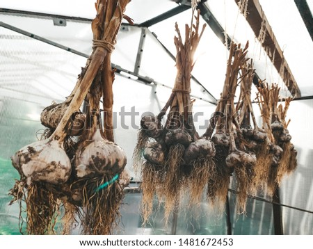 dirty garlic in the ground in a bunch is dried in bunches, hanging, in a greenhouse, crop.  day.  country.  rustic #1481672453