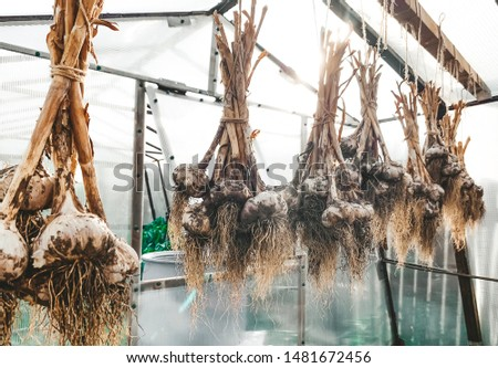 dirty garlic in the ground in a bunch is dried in bunches, hanging, in a greenhouse, crop.  day.  country.  rustic #1481672456