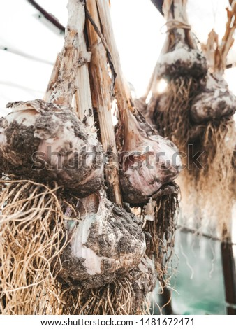 dirty garlic in the ground in a bunch is dried in bunches, hanging, in a greenhouse, crop.  day.  country.  rustic #1481672471