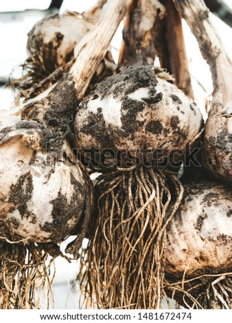 dirty garlic in the ground in a bunch is dried in bunches, hanging, in a greenhouse, crop.  day.  country.  rustic #1481672474