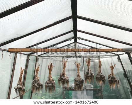 dirty garlic in the ground in a bunch is dried in bunches, hanging, in a greenhouse, crop.  day.  country.  rustic #1481672480