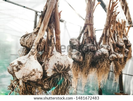dirty garlic in the ground in a bunch is dried in bunches, hanging, in a greenhouse, crop.  day.  country.  rustic #1481672483