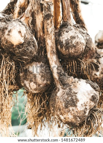 dirty garlic in the ground in a bunch is dried in bunches, hanging, in a greenhouse, crop.  day.  country.  rustic #1481672489