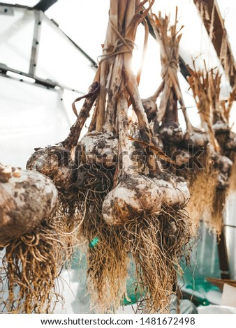 dirty garlic in the ground in a bunch is dried in bunches, hanging, in a greenhouse, crop.  day.  country.  rustic