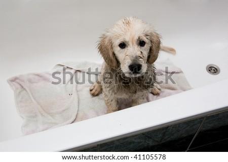 Dirty Golden Retriever Puppy in Bathtub