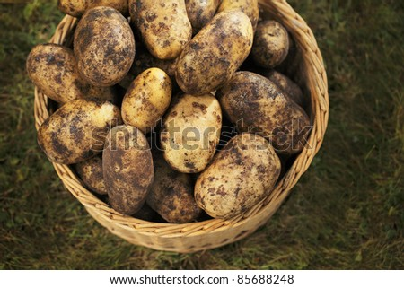 DIrty harvested potatoes in a wicker basket.