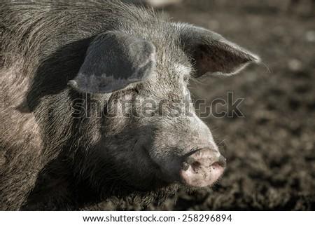 Dirty pig on a farm outdoors