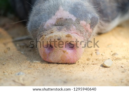 Dirty pig's snout behind