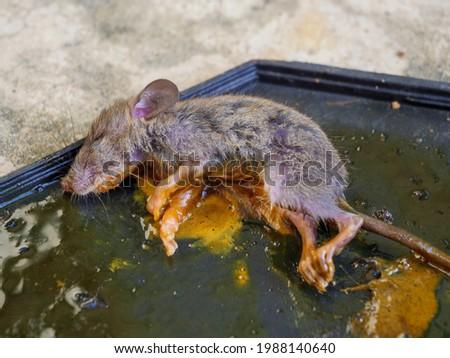 Dirty rat in glue trap.Mice caught in a mouse trap glue trap Foto stock ©