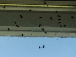 Dirty window covered with flies and other insects.