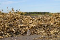 Discarded dry corn stalks after harvest.