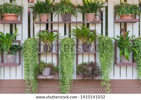 Dischidia ruscifolia or dave plant decorate on wall.