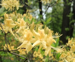 Disclosed yellow azaleas on a branch.