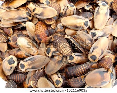 Discoid roach colony