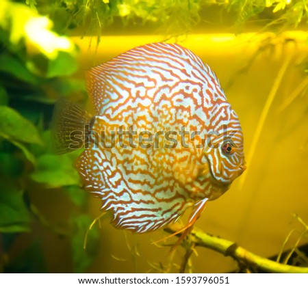 Discus brown, Brown Discus, on the background of the green river bottom. Marine life, river fish, sea.